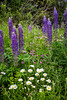 Lupines and wildflowers near Bay Roberts, Newfoundland and Labrador, Canada.