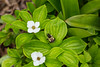 Bunchberry wildflowers and bee in the forest near Boyd's Cove, Newfoundland and Labrador, Canada.