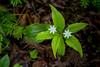 The starflower in the forest near Boyd's Cove, Newfoundland and Labrador, Canada.