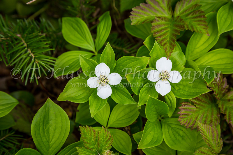 Bunchberry wildflowers in the forest near Boyd's Cove, Newfoundland and Labrador, Canada.