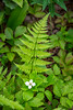 Bunchberry wildflower and fern frond in the forest near Boyd's Cove, Newfoundland and Labrador, Canada.
