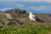 A seagull in the picturesque fishing village of Brigus, Newfoundland and Labrador, Canada.