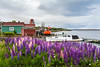 Fish stages and lupines at Spaniard's Bay, Newfoundland and Labrador, Canada.