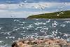 Seagulls swarming at a feeding frenzy in Old Perlican, Newfoundland and Labrador, Canada.