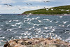 Seagulls swarming at a feeding frenzy in Old Perlican, Newfoundland and Labrador, Canada.