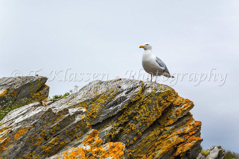 A seagull perched on the rocks at Hibbs Cove, Newfoundland and Labrador, Canada.