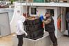 Unloading snow crab catch at Port de Grave, Newfoundland and Labrador, Canada.