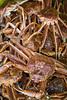 Closeup of snow crab catch at Port de Grave, Newfoundland and Labrador, Canada.