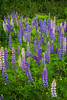A lupine wildflower pasture in a park near St. John's Newfoundland and Labrador, Canada.