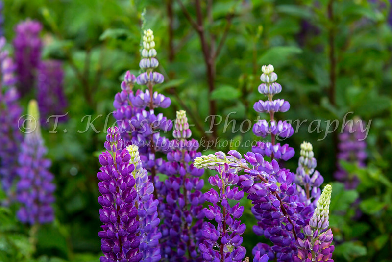 Roadside lupine wildflowers blooming at Sheppard's B&B near Trout River, Newfoundland and Labrador, Canada.