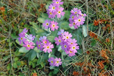 Birds Eye Primrose Great Northern Peninsula