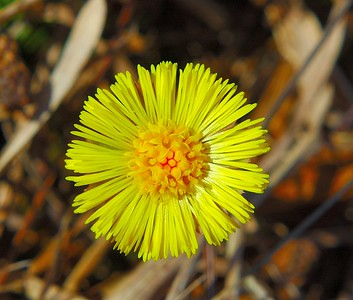 This is the first wildflower to make its appearance in Newfoundland. It's Colt's Foot.