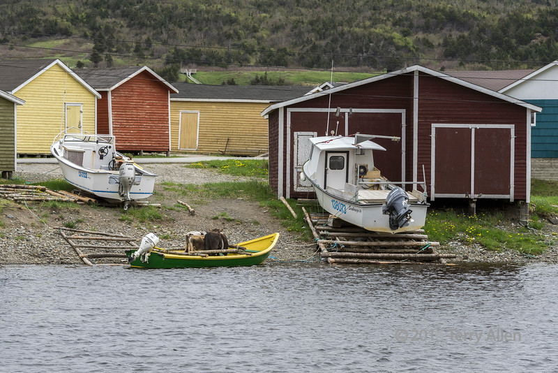Three cows in a dory waiting for transport to an outport, Trout River, Newfoundland