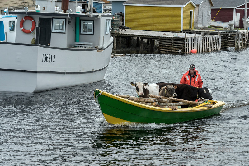 Transporting three cows in a dory to an outport, Trout River, Newfoundland