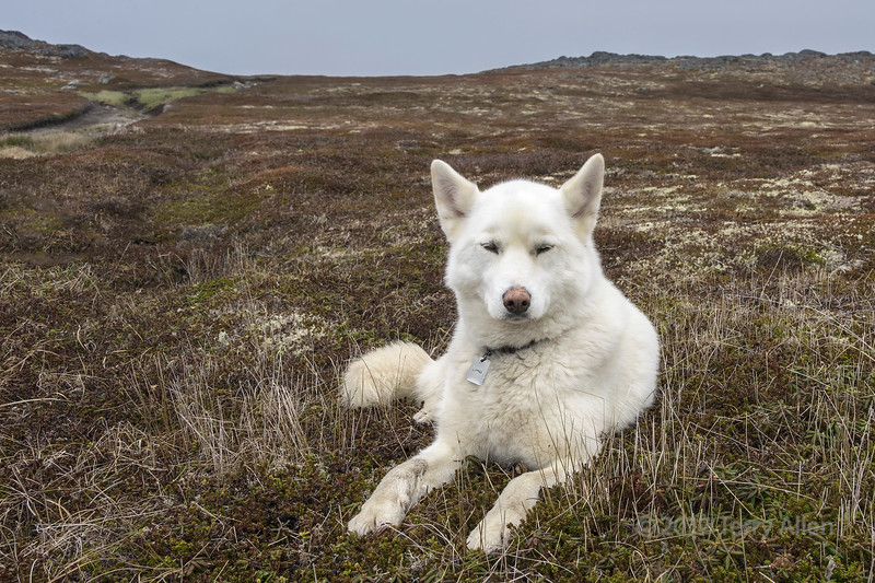 Life of an adventuresome white dog, Quirpon Island, Newfoundland