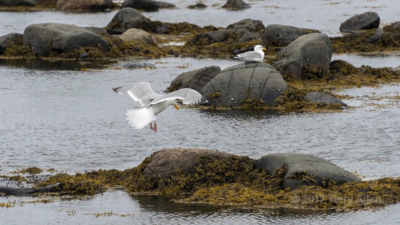 Herring gull (Larus argentatus) coming into land in Islands Bay, Newfoundland