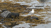 Herring gull (Larus argentatus) wtih rocks and rockweed, L'anse aux Meadows, Newfoundland
