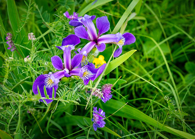 Photos inside Gros Morne National Park, Newfoundland, Canada--Blue Flag Iris on the Eastern Trail in Trout River