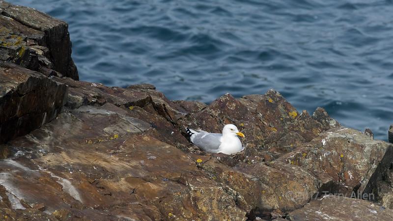 Herring gull sitting on a nest (Larus argentatus) on an off shore rock stack, Elliston, Newfoundland