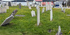 Old gravestones with dandelions, St Paul's Anglican Church, Trinity, Newfoundland