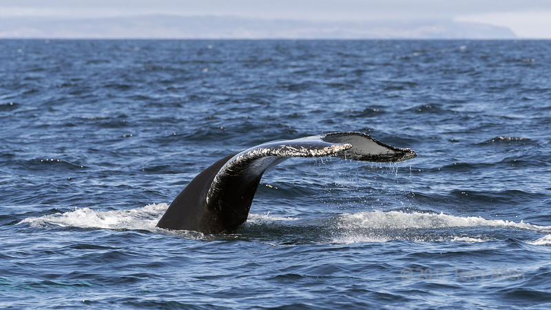 Tail of a diving humback whale, Trinity bight, east coast Newfoundland