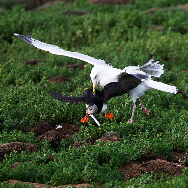 The Herring Gulls didn't need to grab onto much to steal the prize from the Puffins.