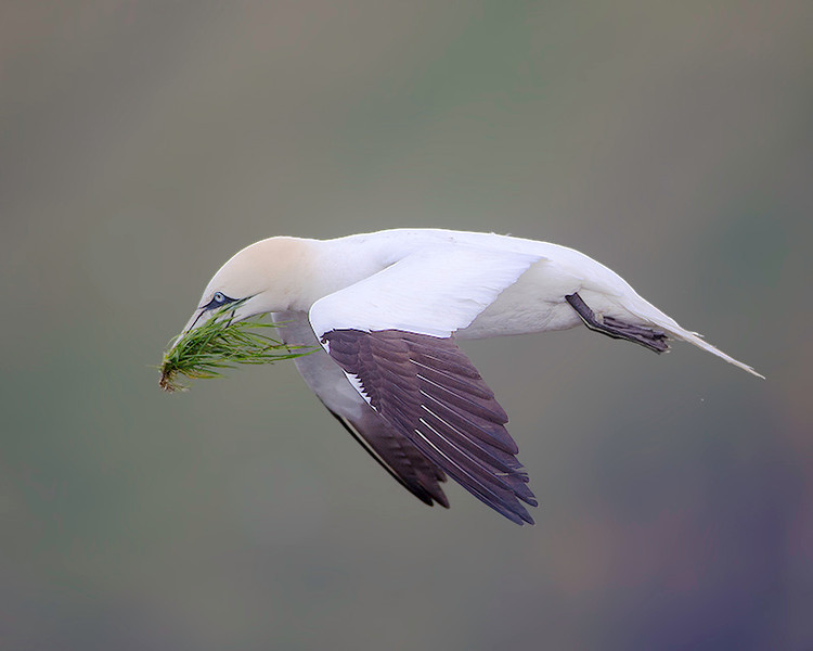 I'm not sure what the grass was for since the chicks were almost fully fledged, but Gannets picking grass was a common sight.