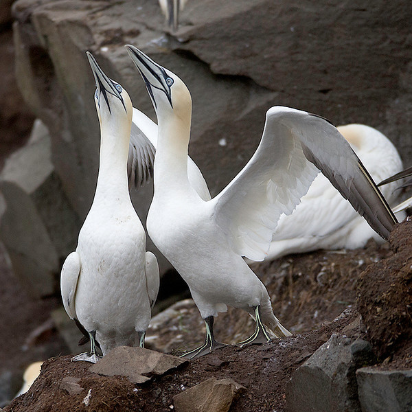 """Two reunited Gannets put on an incredible display called """"fencing""""."""