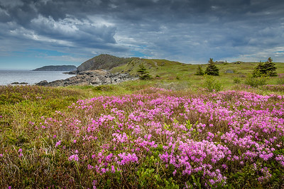 Canadian Rhododendron at Tinker's Point