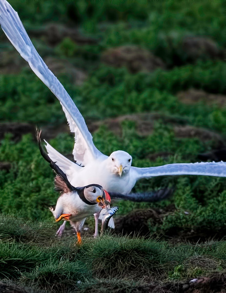 A Puffin drops its prize as the Herring Gull closes in.