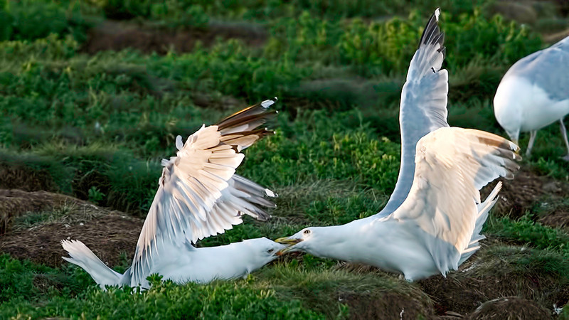 Two Herring Gulls fight over territory in the puffin colony.