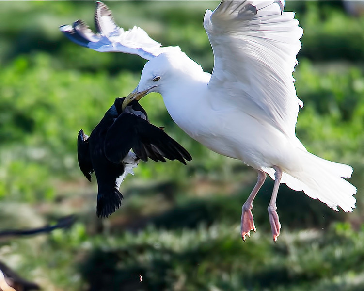 The Herring Gulls are extremely accurate, capable of catching the Puffins mid-air as they return with their prize.  The Puffin was released after losing its catch.