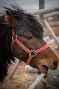 Newfoundland Pony Charlie