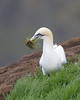 A Gannet gathering some grass.