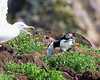 This Puffin makes a successful escape with its prize.  Unfortunately this is not the usual outcome.