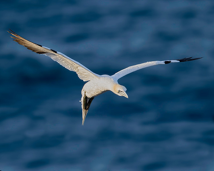 A Northern Gannet, circling its colony.