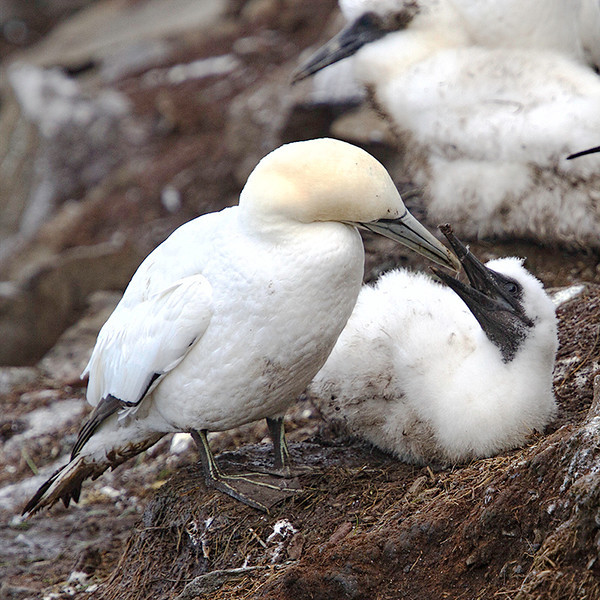 An adult feeds its chick.  Each pair produce only a single chick.