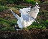This Puffin is caught by two Herring Gulls as it tries to enter its burrow with its catch.