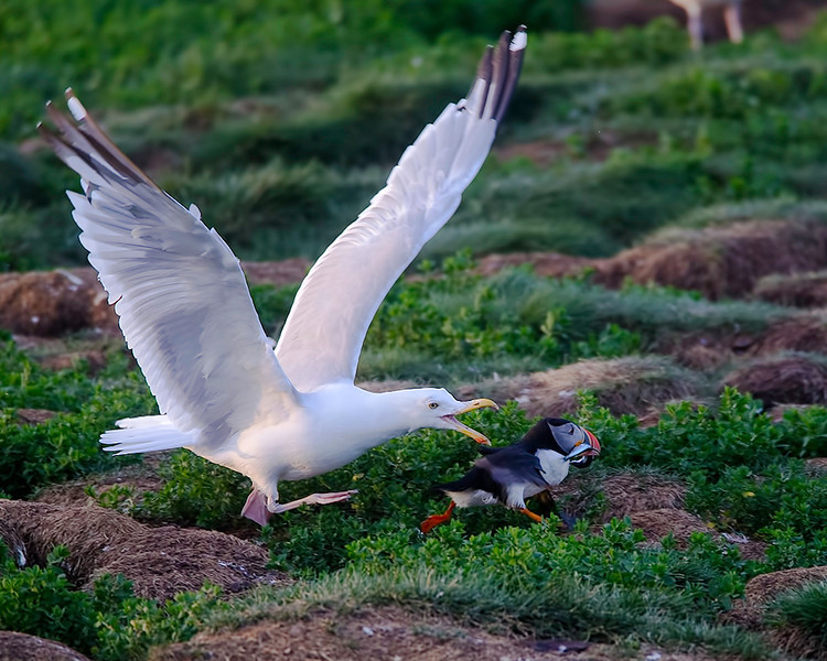 The gulls are deceptively quick and the Puffins not quick enough.