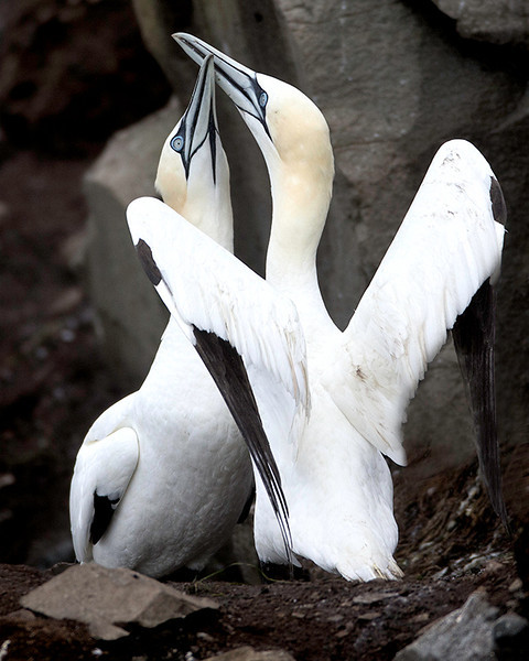 "A mating pair of Gannets ""fencing""."