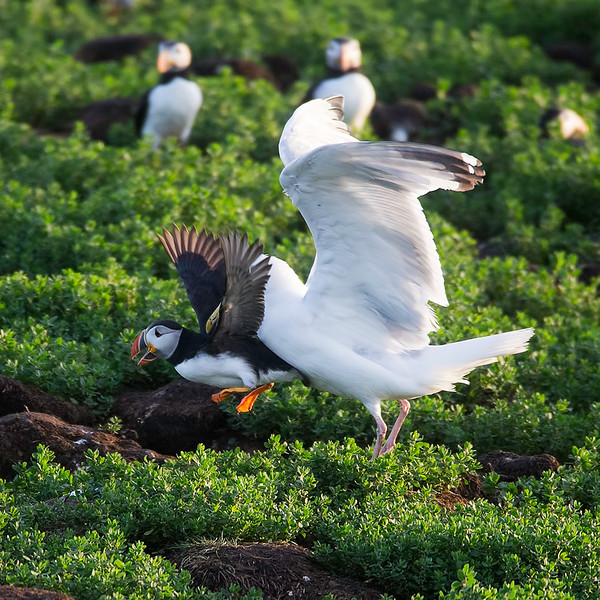 A Herring Gull releases this Puffin after relieving it of its catch.