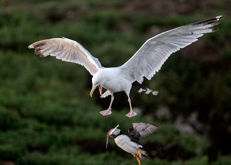 A Herring Gull drops the Puffin it had picked up, the Puffin keeps its catch (this time).