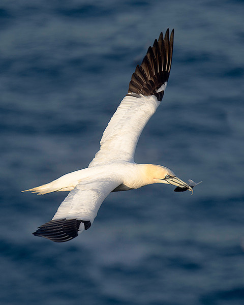 I don't know what the feather was for, but this Gannet circled us for a long time showing off its prize.