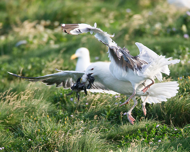 A Black-backed Gull successfully steals a young Puffin from a Herring Gull.  The Herring Gull killed the chick but was unable to swallow it.
