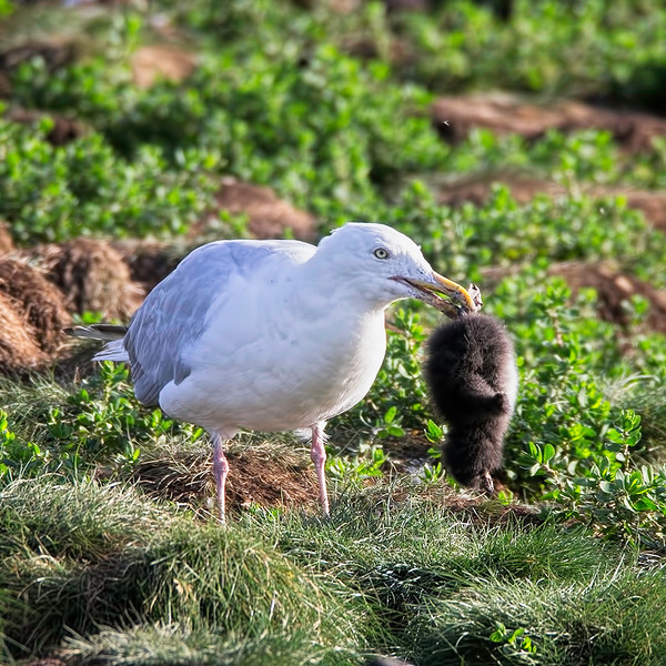 A young Puffin ventured too close to the entrance of its burrow and is killed by an ever-vigilant Herring Gull.