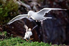 A Herring Gull drops a Puffin after successfully relieving it of its catch.