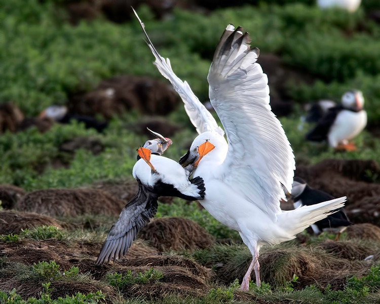 The Herring Gulls show no mercy as they do whatever they can to relieve the Puffins of their catch.