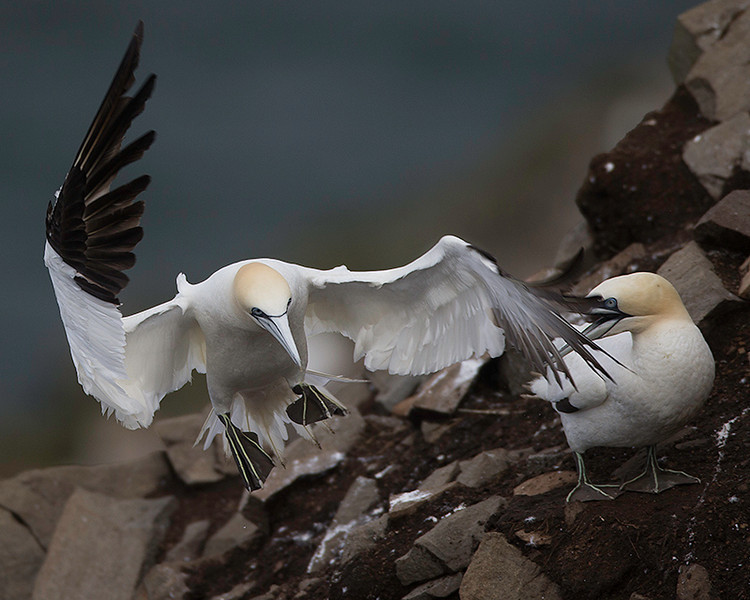 Territory is hard to come by on the Gannet rock, and this Gannet is landing a bit too close to a neighbour.