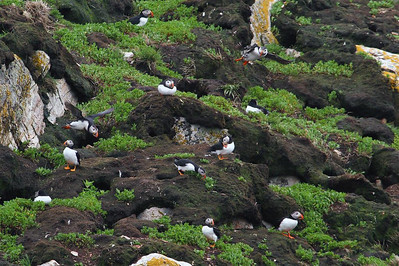 This is a colony of puffins at Cape Bonavista.