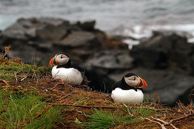 There were several puffins nesting in an area we could walk to. The picture does NOT show just how high up they are. They are on the edge of a sheer cliff that drops down into the ocean. With the wind blowing at 100 km. and higher, I was not about to venture any closer for a shot.